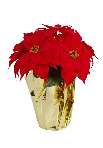Orange & Red Potted Poinsettia w/ Gold Foil